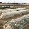 【菜園】寒さでアレだけれど、春になれば復活するので【緑肥】