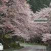 海津大崎、桜開花情報(2017年4月11日8時現在)