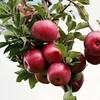 秋が旬の果物!りんごの種類と効果とは?グルメな秋の豆知識!~りんご編~