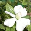 咲き出した「くちなしの花」、今回は害虫対策が万全だったのか?