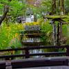 京都・嵐山 - 松尾大社の山吹