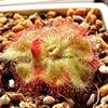Drosera Cuneifoliaの捕虫映像