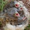 巣立ち直前の野鳥のヒナは、モーレツ腹ペコ