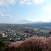 松田山ハーブガーデンの桜が満開です