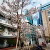 新橋駅近くの桜を愛でる。