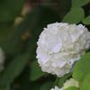 高知県モネの庭の『オオデマリ』(1)