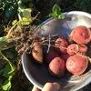 """初めての秋採れジャガイモ『アンデス』でイガイガ? ~First fall harvest potatoes """"Andes"""" feel uncomfortable?"""
