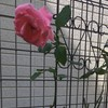 バラ(クイーンエリザベス、アイスバーグ)