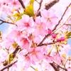 """みちのく一番乗り!""""東北のハワイ""""の河津桜(福島・いわき)"""