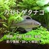 カゼトゲタナゴの特徴・外観・飼育・繁殖・釣り情報を詳しく解説!