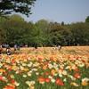 昭和記念公園!ポピーとチューリップの花の競演!立川ラーメン激戦区と一緒の散策がお勧め!