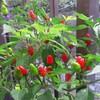 赤ちょうちんの園芸 ~コーレーグースを作ってみる~