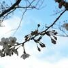 谷中の桜開花状況  3月28日(火)