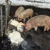 大草原の放牧豚しあわせポークのご紹介
