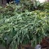 お寺に大麻がいっぱい、インドのお祭りシヴァラトリ