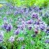 梅雨には青い花が似合う!富山にある2つのラベンダー畑に行ってきた!