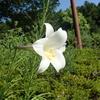 真夏の大きな白いユリ タカサゴユリとテッポウユリは紫色の線が重要!