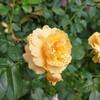 【茨城】残念だった坂野ガーデンのバラ