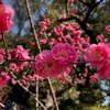 梅の花と掬月亭 / あぶらやラーメンでランチ