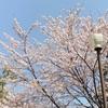 横浜橋商店街と大通り公園の歌丸桜と