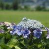 梅雨のお出かけ:ソフトフィルターを使ってふんわり紫陽花を撮ってみる