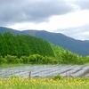 滋賀県高島 メタセコイヤ並木 新緑へ