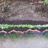 【家庭菜園】2度目の小カブを間引きしました