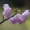 小さい木瓜と小さい桜と。