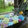 紫陽花の花手水と、境内で咲き誇る紫陽花の風景