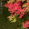 紅葉と湖水上のコブハクチョウ