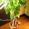 風水でお勧めの観葉植物「パキラ」 玄関に置いて金運アップ!