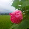 南足柄市 千津島の酔芙蓉が咲きはじめました