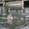 木場親水公園のカルガモ親子