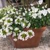 シャワーを待ってる元気な白い花