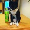 【将棋x猫】我が家の猫を女流猫棋士としてデビューさせられないか思案中