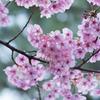 新宿御苑で早咲きの桜を撮影してきました