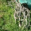 薪ストーブ前史51 焚き付け用の金木犀の小枝を片付けていく