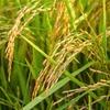 減り続ける米の消費量 もっとお米を食べよう!
