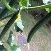 たくさんのキュウリの収穫のコツは?・・・こまめな追肥と水切れに注意して。