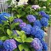 紫陽花とM16
