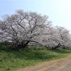 多摩川桜百景 -12. 多摩堤通り桜並木-