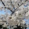 元住吉の桜が咲きました 2021