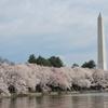 ワシントンDCで桜並木を堪能しよう!アメリカで「ソメイヨシノ」