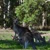 サーファーズから近し!タダで野生のコアラとカンガルーが見れるクーンババ国立公園