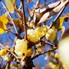 温かい冬、蝋梅の花を見に、堤防を歩いて