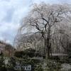 多摩川桜百景 -39. 浄福寺-