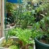 ベランダ菜園Now!!