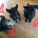 タイ犬のがん治療とタイ暮らし|大型犬多頭飼いとタイから伊豆への移住計画ブログ