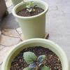 野菜の苗を植え付けました