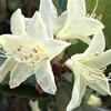 ヒカゲツツジの花